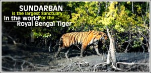 royal-bengal-tiger-sundarban